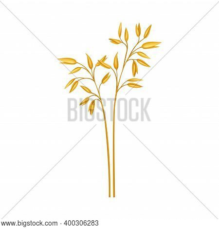 Oat Grass Specie As Wildflower Or Herbaceous Flowering Plant Vector Illustration