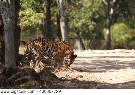Bengal Tiger Panthera Tigris Tigris. Bandhavgarh National Park. Madhya Pradesh. India.