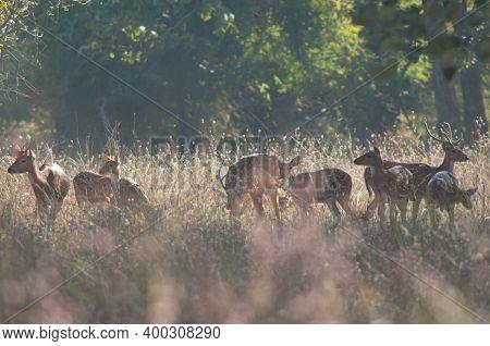 Herd Of Chital Axis Axis. Bandhavgarh National Park. Madhya Pradesh. India.