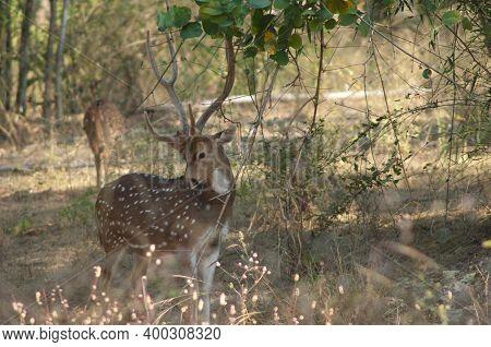 Male Of Chital Axis Axis. Bandhavgarh National Park. Madhya Pradesh. India.