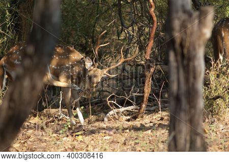 Male Chital Axis Axis Scratching. Bandhavgarh National Park. Madhya Pradesh. India.