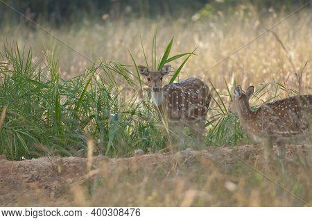Females Of Chital Axis Axis. Bandhavgarh National Park. Madhya Pradesh. India.