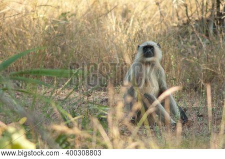 Northern Plains Gray Langur Semnopithecus Entellus. Bandhavgarh National Park. Madhya Pradesh. India