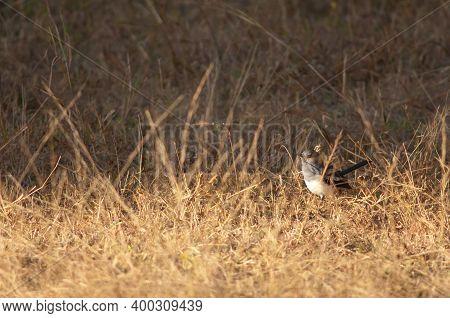 Female Oriental Magpie Robin Copsychus Saularis. Bandhavgarh National Park. Madhya Pradesh. India.