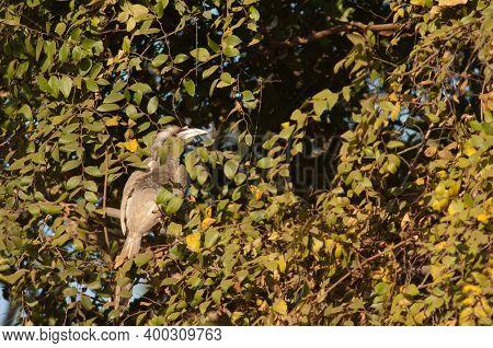 Indian Grey Hornbill Ocyceros Birostris. Female. Bandhavgarh National Park. Madhya Pradesh. India.