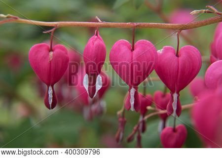 A Group Of Blooming Bleeding Hearts