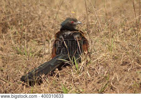 Greater Coucal Centropus Sinensis Sunbathing. Bandhavgarh National Park. Madhya Pradesh. India.