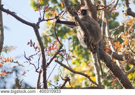 Southern Plains Gray Langur Semnopithecus Dussumieri. Bandhavgarh National Park. Madhya Pradesh. Ind