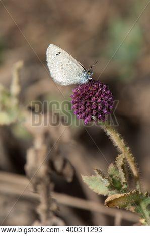 Butterfly Lycaenidae On A Flower. Bandhavgarh National Park. Madhya Pradesh. India.