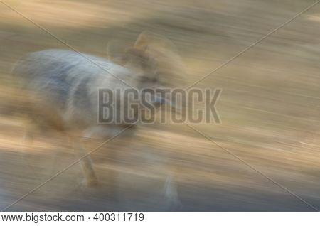 Golden Jackal Canis Aureus Indicus Trotting. Picture Blur To Suggest Movement. Bandhavgarh National