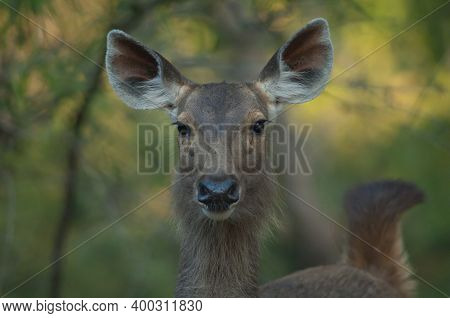 Portrait Of Female Sambar Rusa Unicolor. Bandhavgarh National Park. Madhya Pradesh. India.