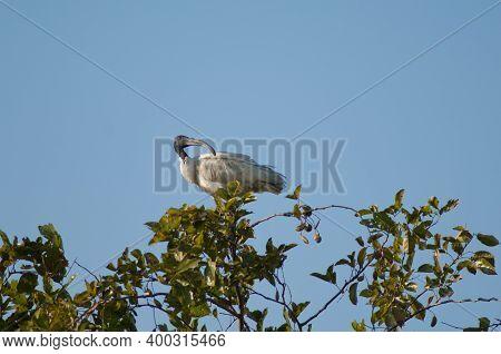 Black-headed Ibis Threskiornis Melanocephalus On A Tree. Sasan. Gir Sanctuary. Gujarat. India.