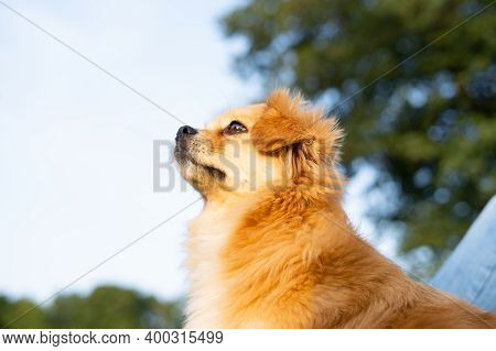 Red Dog Looks Into The Distance Against The Background Of Nature.