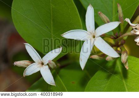 Flowers Of Common Jasmine Jasminum Officinale. Gir National Park. Gujarat. India.