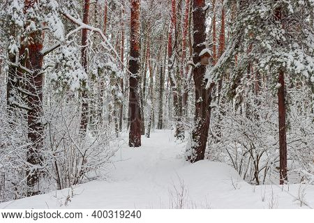 Section Of The Winter Park With Pines, Birches And Shrubs Covered With Newly-fallen Fluffy Snow And