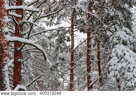 Branches And Trunks Of The Pines Covered With Newly-fallen Fluffy Snow In Forest, Fragment, Backgrou