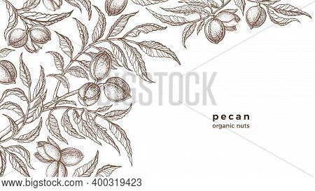 Vector Pecan Plant, Nuts, Branch. Vintage Botany Hand Drawn Sketch On White Background. Healthy Orga