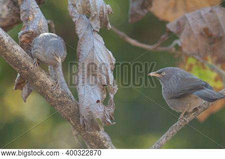 Jungle Babblers Turdoides Striatus On A Branch. Sasan. Gir Sanctuary. Gujarat. India.