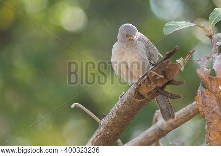 Jungle Babbler Turdoides Striatus On A Branch. Sasan. Gir Sanctuary. Gujarat. India.