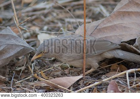 Jungle Babbler Turdoides Striatus Searching For Food. Sasan. Gir Sanctuary. Gujarat. India.