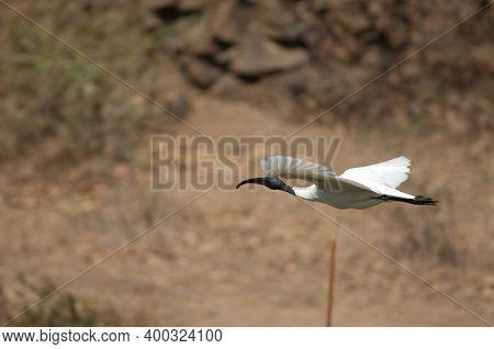 Black-headed Ibis Threskiornis Melanocephalus In Flight. Hiran River. Sasan. Gir Sanctuary. Gujarat.