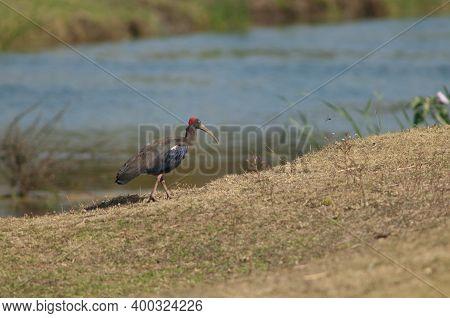 Red-naped Ibis Pseudibis Papillosa In The Hiran River. Sasan. Gir Sanctuary. Gujarat. India.