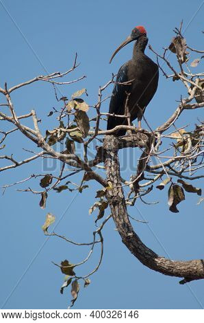 Red-naped Ibis Pseudibis Papillosa On A Tree Branch. Hiran River. Sasan. Gir Sanctuary. Gujarat. Ind
