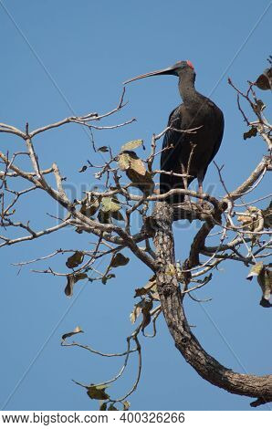 Red-naped Ibis Pseudibis Papillosa Vigiant On A Tree Branch. Hiran River. Sasan. Gir Sanctuary. Guja