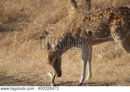 Female Of Chital Axis Axis Biting A Fallen Horn Of His Own Species. Gir Sanctuary. Gujarat. India.