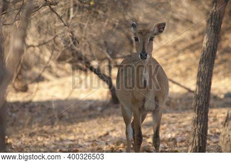 Female Nilgai Boselaphus Tragocamelus In The Gir Sanctuary. Gujarat. India.