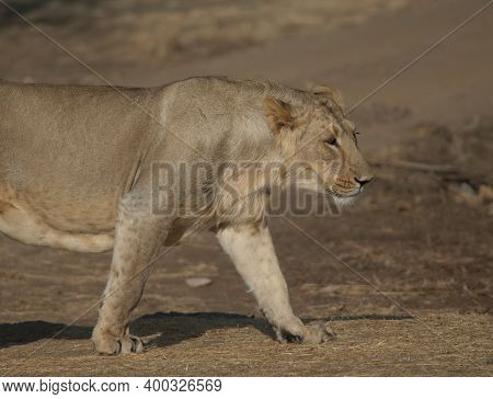 Asiatic Lion Panthera Leo Persica. Lioness In Devalia. Gir Sanctuary. Gujarat. India.