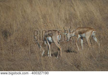 Males Blackbuck Antilope Cervicapra In Devalia. Gir Sanctuary. Gujarat. India.