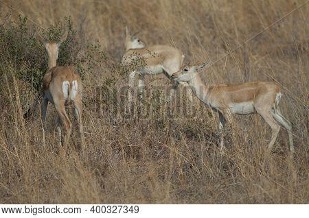 Female And Young Male Of Blackbuck Antilope Cervicapra. Devalia. Gir Sanctuary. Gujarat. India.