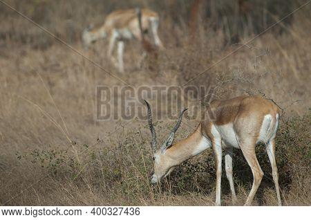 Male Blackbuck Antilope Cervicapra Feeding In Devalia. Gir Sanctuary. Gujarat. India.