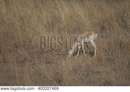 Young Male Of Blackbuck Antilope Cervicapra Feeding. Devalia. Gir Sanctuary. Gujarat. India.