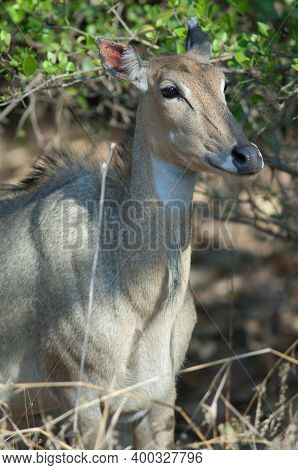 Female Nilgai Boselaphus Tragocamelus In Devalia. Gir Sanctuary. Gujarat. India.