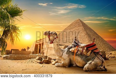 Camel Rests Near Ruins Pyramid Of Egypt