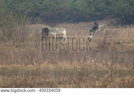 Female Black-necked Stork Ephippiorhynchus Asiaticus And Cattle Bos Taurus In The Background. Keolad