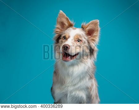 Happy Dog On A Blue Background. Border Collie Funny Portrait.
