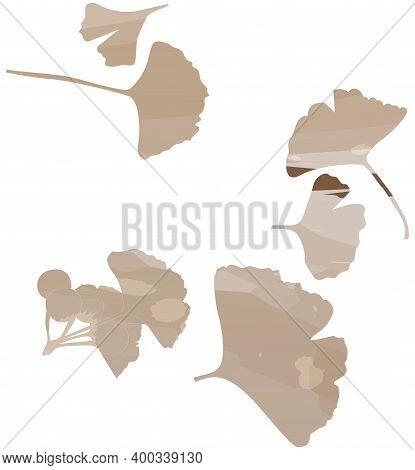 Ginkgo Biloba Leaf Set. Vector Brown Isolated Realistic Objects. Botanical Illustration