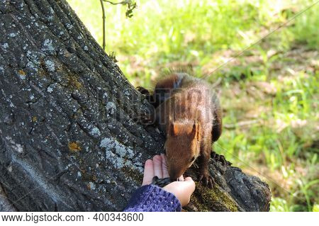 Holding Out A Hand With Seeds To  Squirrel. A Squirrel  Nibbles Seeds.small Rodent.