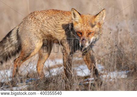 A Red Fox Vulpes Vulpes. Close Up.