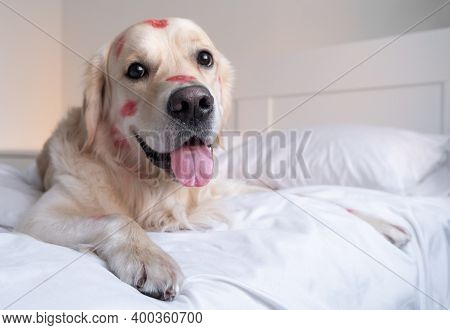 Dog In Red Lipstick From Kisses Sits On The Crib. Valentine's Day Golden Retriever At Home
