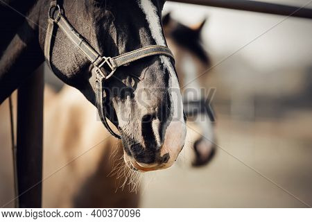The Noses Of Horses In Halters In The Paddock. The Muzzles Of Horses. Sporty Stallions Brown Color I