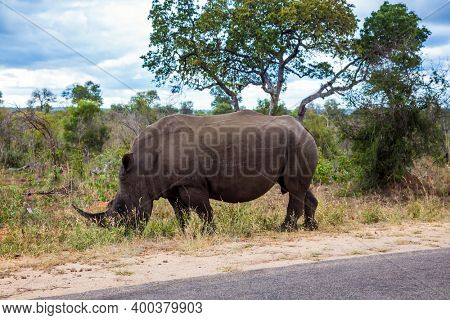 African white rhino with horn on its nose grazes near a dirt road. Travel to South Africa. Famous Kruger Park. Cloudy summer day. The concept of exotic, ecological and photo tourism