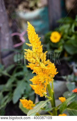 Beautiful Yellow Goldenrod Flower In The Home Garden Close View