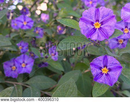 Purple Flowers Of Solanum Rantonnetii. The Blue Potato Bush Or Paraguay Nightshade. Purple Flowers W