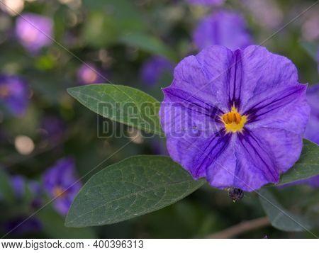 Close Up Purple Flower Of Solanum Rantonnetii. The Blue Potato Bush Or Paraguay Nightshade. Purple F