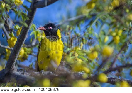 African Black Headed Oriole In Yellow Flowers Tree In Kruger National Park, South Africa ; Specie Or