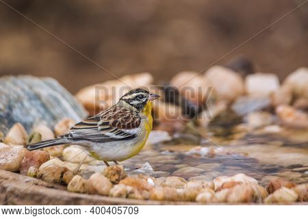 African Golden Breasted Bunting Standing At Waterhole In Kruger National Park, South Africa ; Specie